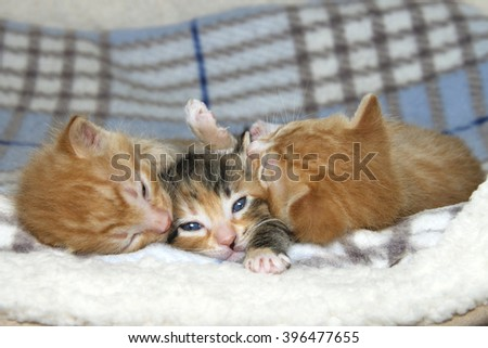 Three week old kittens on sheepskin and fluffy gray and blue stripped blanket. One female tortie torbie tabby between two male orange stripped tabbies. Female paw stretched out like save me. - stock photo