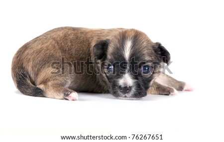 three weeks old brown with black mask Chihuahua puppy close-up on white background - stock photo