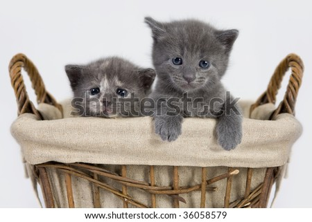 Three weeks old grey kittens sitting in a woven basket