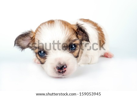 three weeks old white with red Chihuahua baby close-up  - stock photo