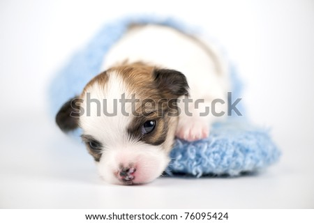 Three weeks old white with red Chihuahua puppy in blue slipper close-up on white background (shallow focus) - stock photo