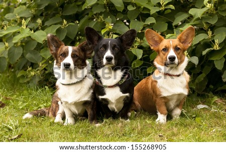 three Welsh Corgi Pembroke dogs  sitting on the grass   - stock photo