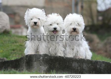 three west highland white terriers - stock photo