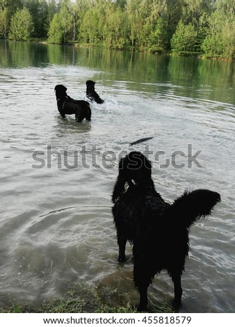 Three wet dogs playing in water - stock photo