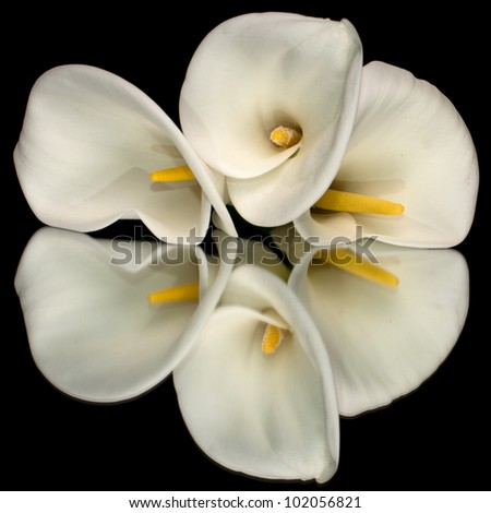 Three white calla lillies isolated on black background with reflection - stock photo