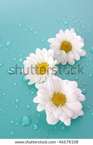 Three white camomile on blue background - stock photo