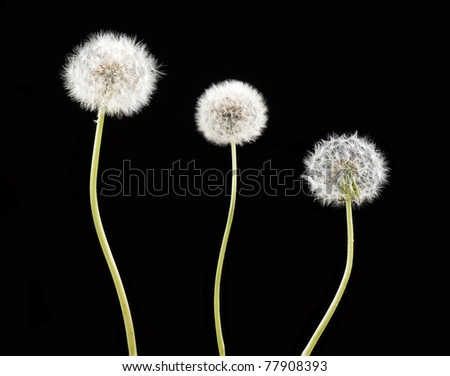 Three white dandelion over black background