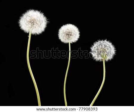 Three white dandelion over black background - stock photo
