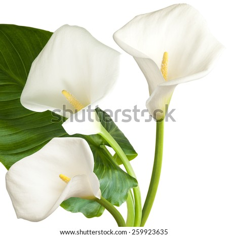 Three white flowers isolated on white background