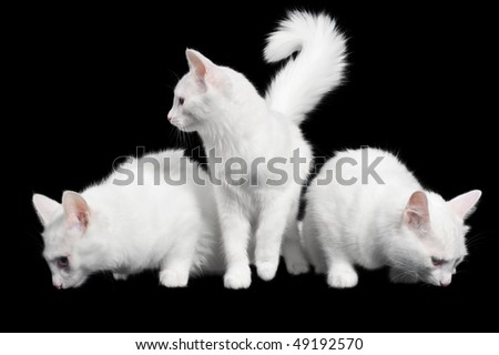 Three white fluffy cats on black background - stock photo