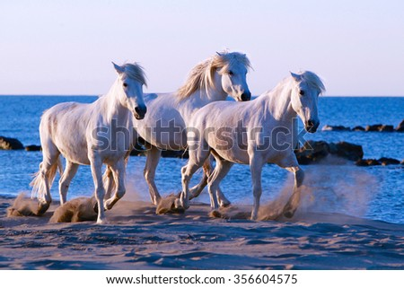 Three white horses walking on beach in the Camargue, South of France - stock photo