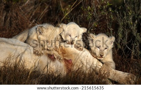 Three white lion cubs drinking from their mother in this image. - stock photo