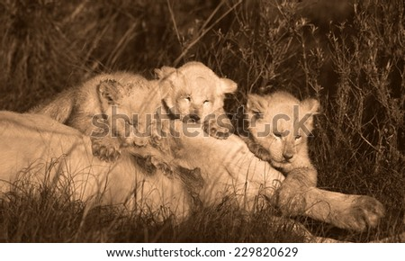 Three white lion cubs suckling in this sepia tone image. - stock photo