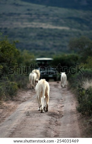 Three white lions walk towards a game drive vehicle while on Safari at Pumba Private Game reserve. - stock photo
