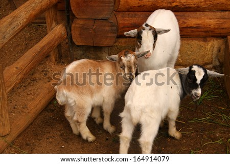 Three white little lambs by the wooden stable