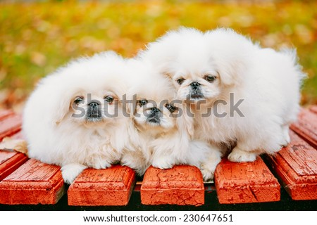 Three White Puppies Pekingese Pekinese Peke Whelps Puppy Dog Sitting On Wooden Bench In Autumn Park