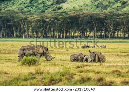 Three white rhinoceros (Ceratotherium simum) relaxing in Lake Nakuru National Park, Kenya - stock photo