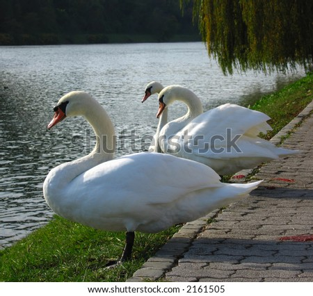 Three white swans resting by the river.
