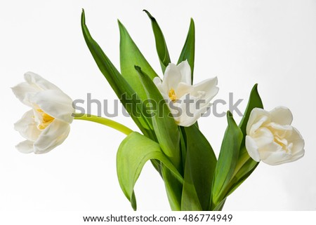 Three white tulips on white background. Yellow pistils and green leaves. Natural spring season beauty.