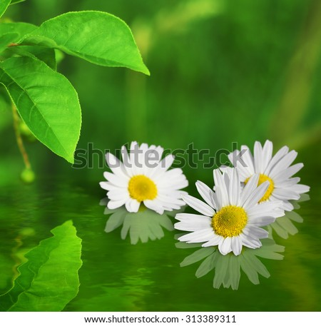 Three white yellow daisy flowers on green background reflected in water - stock photo