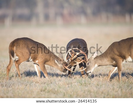 Three whitetail bucks begin to square off in a field in Smoky Mountain National Park. - stock photo