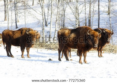 three wild bisons in the winter forest - stock photo