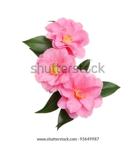 Three Williamsii donation camellia flowers isolated against white - stock photo