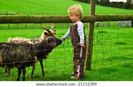 Three year old boy strokes some goats on a farm. - stock photo