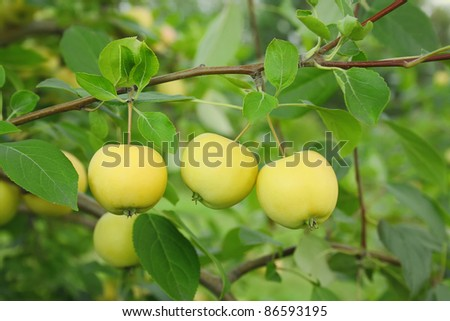 Three yellow apples on a branch in a garden