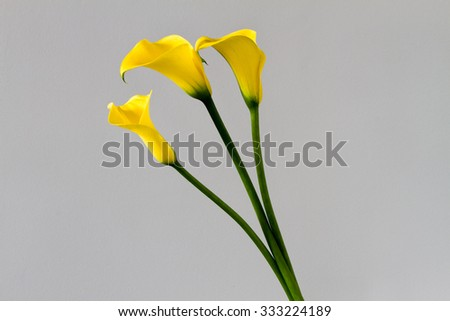 Three yellow calla lily isolated over light grey background - stock photo