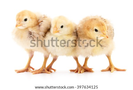 Three yellow chickens isolated on white background.