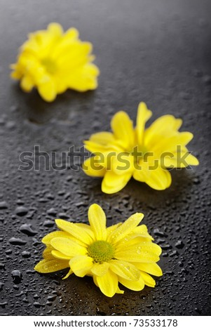 Three yellow daisies with water drops on black background