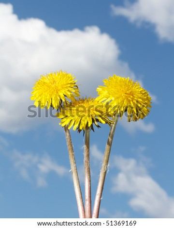 Three yellow Dandelions with long stems against a blue sky with white fluffy cloud background. - stock photo