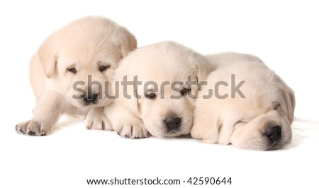 Three yellow lab puppies, three weeks old. - stock photo