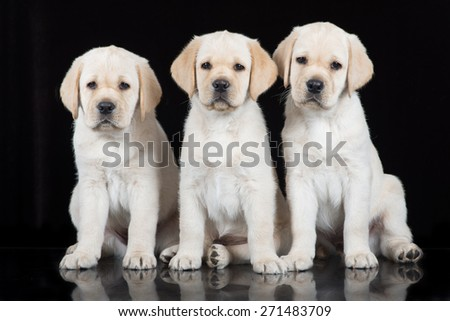 three yellow labrador retriever puppies on black - stock photo