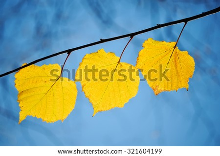Three yellow leaves on a branch against the blue sky in autumn / - stock photo