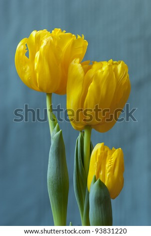 three yellow tulips on blue background