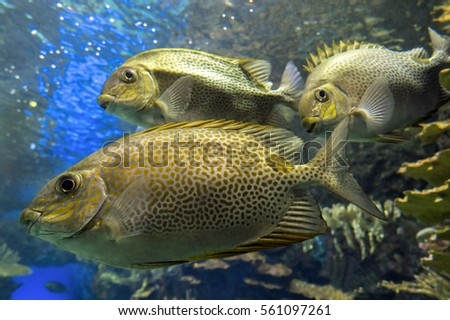 Three Yellowspot rabbitfish Siganus guttatus , close up
