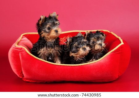 Three yorkie puppies in red stove bench on wine red background - stock photo