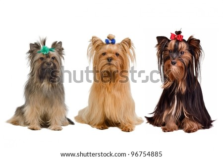 Three Yorkshire terrier dogs isolated - stock photo
