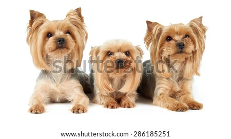 Three Yorkshire Terriers lie on white background. They were washed, got haircut and perfectly groomed before photo shoot.