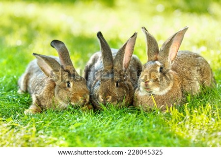 Three young brown rabbits resting in green grass - stock photo