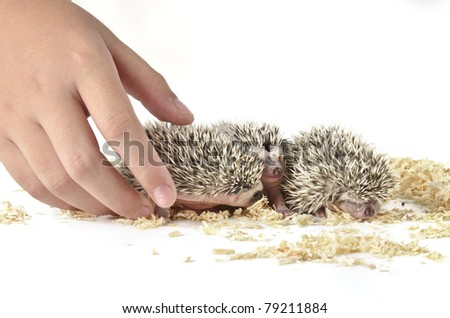 three young hedgehog - stock photo