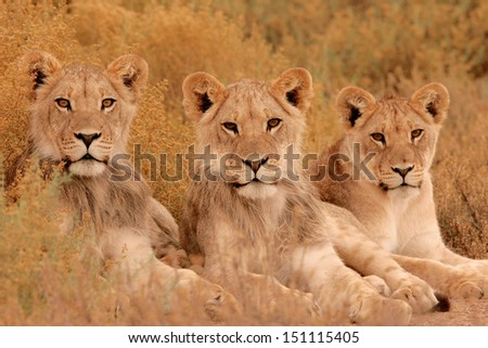 Three young lions - stock photo