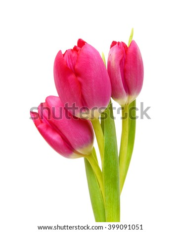 Three Young pink tulips isolated on white background