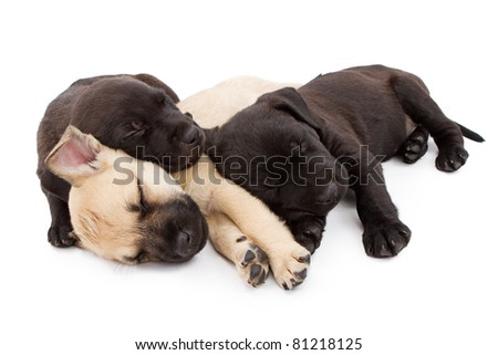 Three young Shepherd and Labrador Retriever mix puppies laying down together taking a nap. Isolated on white.