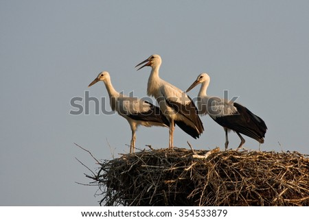 Three young storks in the nest. White stork (Ciconia ciconia). - stock photo