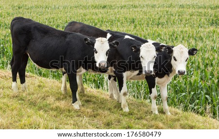 Three young white heads herefords with a maze field in the background. - stock photo