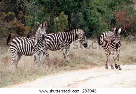 Three Zebras crossing a dirt road - stock photo