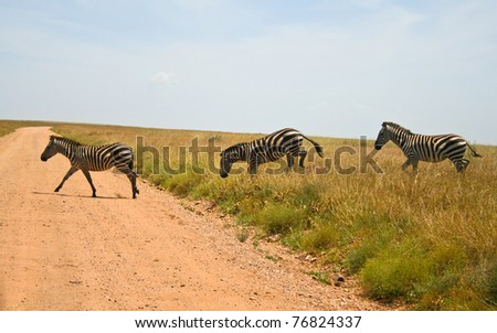 Three zebras crossing road in Serengeti national park, Tanzania